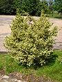 Buxus sempervirens 'argenteovariegata'.jpg