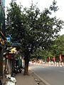 Cây trên vỉa hà, Tôn Đức Thắng, Hà Nội 001.JPG