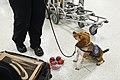 CBP Agricultural Canine (8406682858).jpg