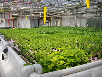Hydroponics - The deep water raft tank at the CDC South Aquaponics greenhouse in Brooks, Alberta.