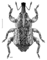 COLE Curculionidae Tychanopais pictulus.png