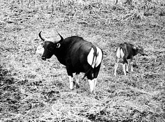 Ujung Kulon National Park - Bantengs in the National Park (1941)