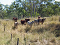 CSIRO ScienceImage 10933 Cattle on CSIROs Belmont Research Station in central Queensland.jpg