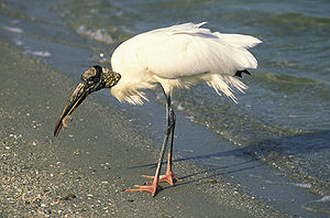 Pelican Island National Wildlife Refuge - Wood stork (Mycteria americana) feeding