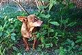 Cachorro pinsher 1.jpg