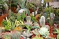 Cactaceae - Internationale Orchideen- und Tillandsienschau Blumengärten Hirschstetten 2016 b.jpg