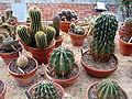 Cactaceae serre massey.jpg