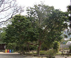 Caesalpinia-echinata.jpg
