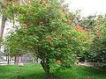Caesalpinia pulcherrima 0005.jpg
