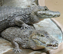 Caiman crocodilus pair.jpg