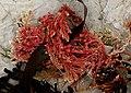 Calcareous red seaweed. (14316824618).jpg