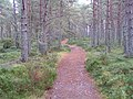 Caledonian pine forest at Abernethy - geograph.org.uk - 560043.jpg