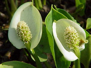 (Calla palustris)