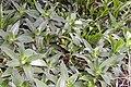 Callisia fragrans 9zz.jpg