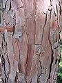 Calocedrus decurrens textura del tronco.jpg