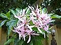 Calodendrum capense (flower).jpg