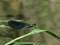 Calopteryx samarcandica m.jpg