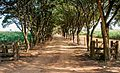 Caminho das árvores Lupionópolis.jpg