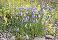 Campanula rotundifolia and Galium verum - Iceland -2007-07-23.jpg