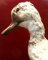 CamptorhynchusLabradoriusMale(CloseUp)-RedpathMuseumMontreal-June6-08.png