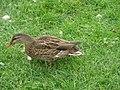 Canard colvert femelle (Anas platyrhynchos) (2).jpg