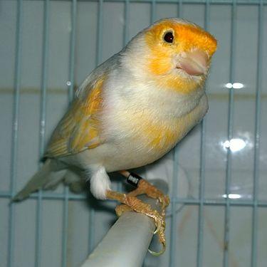 Canari bird.jpg
