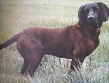 Cane Da Traccia Wikipedia