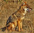 Canis aureus indicus.jpg