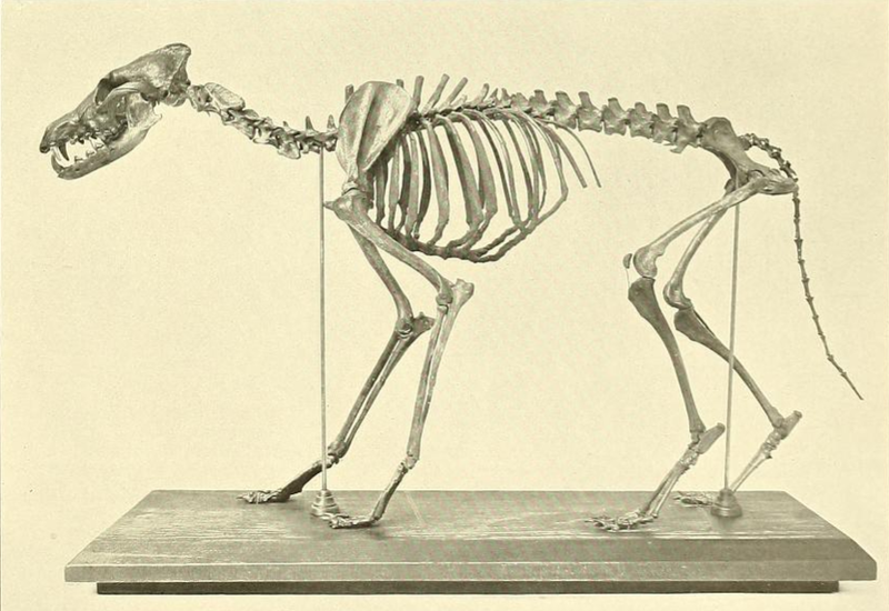 Canis latrans orcutti.png