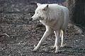 Canis lupus arctos IMG 9104.jpg