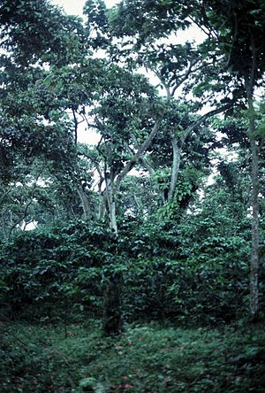 Shade-grown coffee - Canopy coverage of a mostly traditional shade coffee plantation. Most of the canopy has been left undisturbed and coffee shrubs have been planted in the understory.