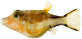 Canthigaster rostrata - pone.0010676.g197.png