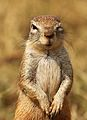 Cape ground squirrel, Xerus inauris, at Krugersdorp Game Reserve, Gauteng, South Africa (26872939084).jpg