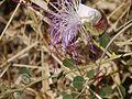 Capparis spinosa (6720222471).jpg