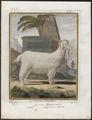 Capra angorensis - 1700-1880 - Print - Iconographia Zoologica - Special Collections University of Amsterdam - UBA01 IZ21300215.tif