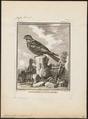 Caprimulgus europaeus - 1700-1880 - Print - Iconographia Zoologica - Special Collections University of Amsterdam - UBA01 IZ16700035.tif