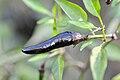 Capsicum annum - longum Black Nubian.jpg
