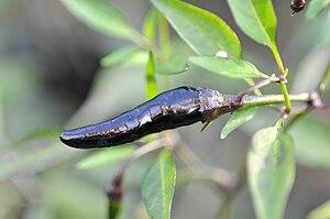 Capsicum annum - longum Black Nubian