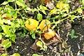 Capsicum chinense Habanero 1zz.jpg