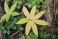 Cardamine heptaphylla - img 22969.jpg