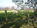 Cardiff sheep.jpg