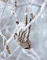 Carduelis flammea Oulu 20130106 05.JPG