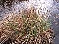 Carex acutiformis inflorescens (09).jpg