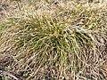 Carex humilis sl3.jpg