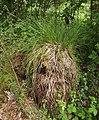 Carex paniculata plant (10).jpg