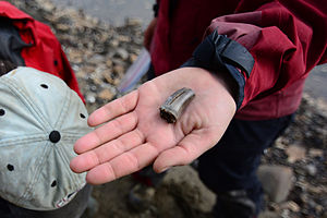 Colville River (Alaska) - A paleontologist holds a newly discovered fossil dinosaur tooth on the Colville River. Annual erosion of the crumbling Colville River bluffs causes fossils to spill onto the riverbanks every year. A scientific government-issued permit is required for fossil collection.