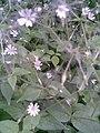 Caryophyllales - Stellaria nemorum - 6.jpg