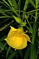 Cascabela thevetia 1DS-II 1-2480.jpg