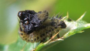 File:Cassida cf rubiginosa larva 2011.ogv