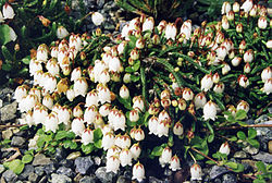 Cassiope lycopodioides 'Beatrice Lilley' 1.jpg